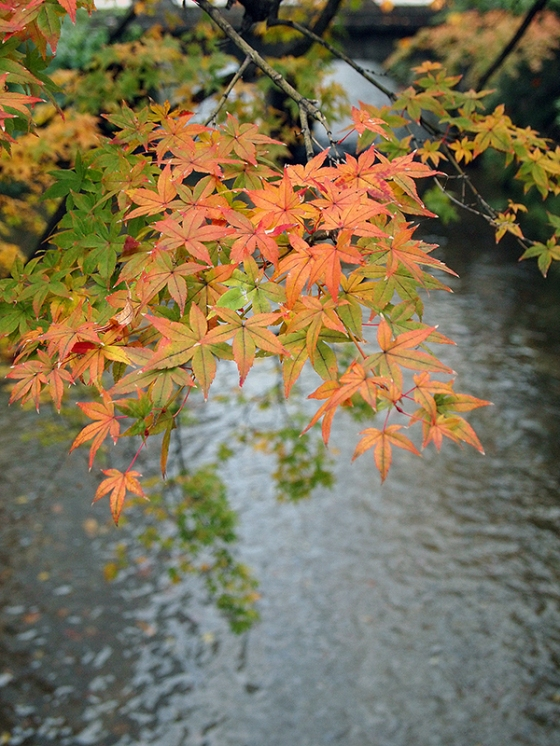 Autumn leaves along Shirakawa - Kyoto Most Beautiful Street