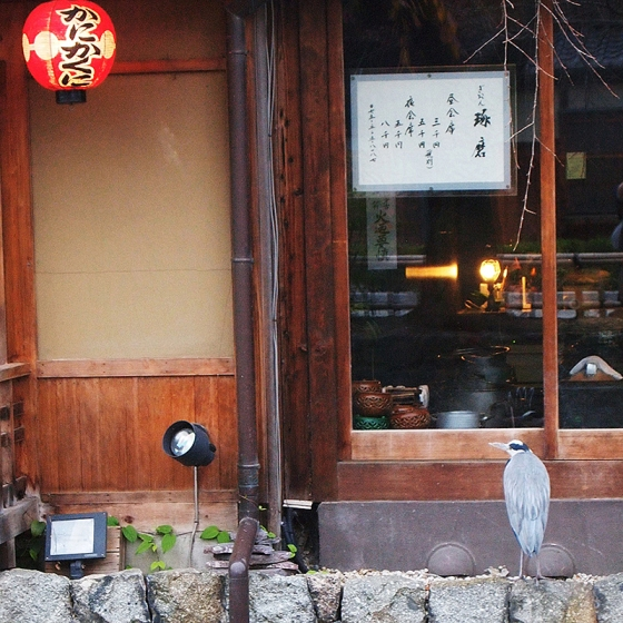 Heron spotted at Shirakawa Gion in Kyoto