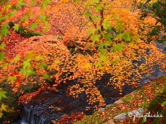 Stream Maple Trees - Tofukuji Kyoto